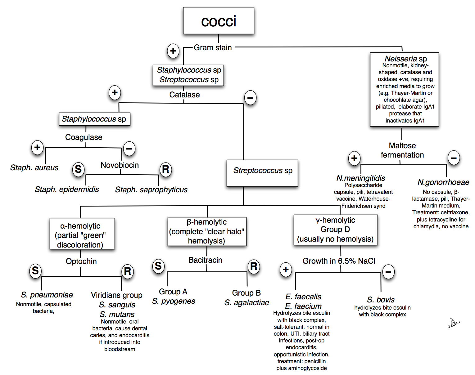 40 Fresh Gram Positive Cocci Flow Chart Identification