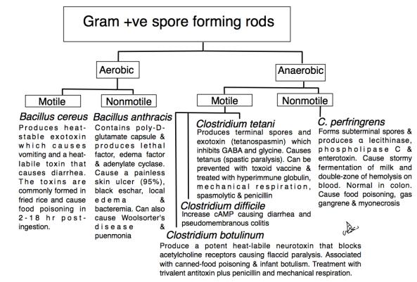 Gram +ve spore forming rods